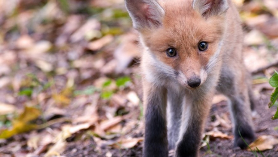 Figyelem! Ebzárlat és legeltetési tilalom! Kezdődik a rókák veszetség elleni immunizálása!