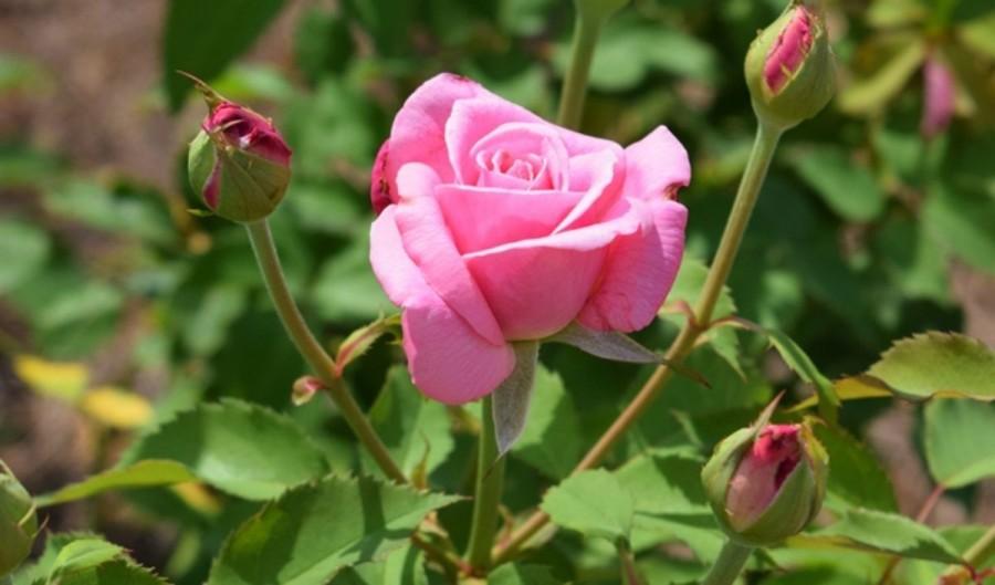 Hogyan lesz jövőre dúsan, egészségesen virágzó rózsakertünk?