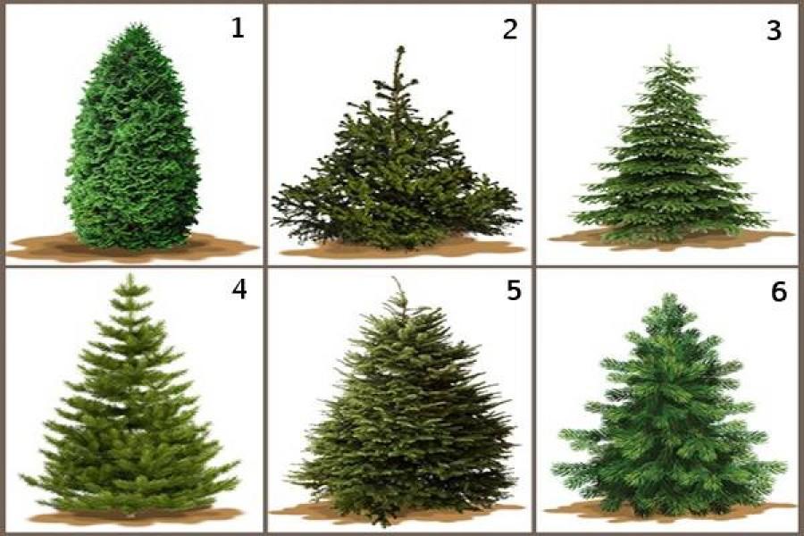 Te melyik fát választanád karácsonyra?