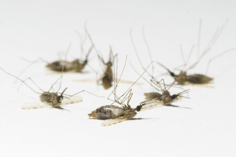 Ezeken a helyeken irtják baktériummal a héten a szúnyogokat!