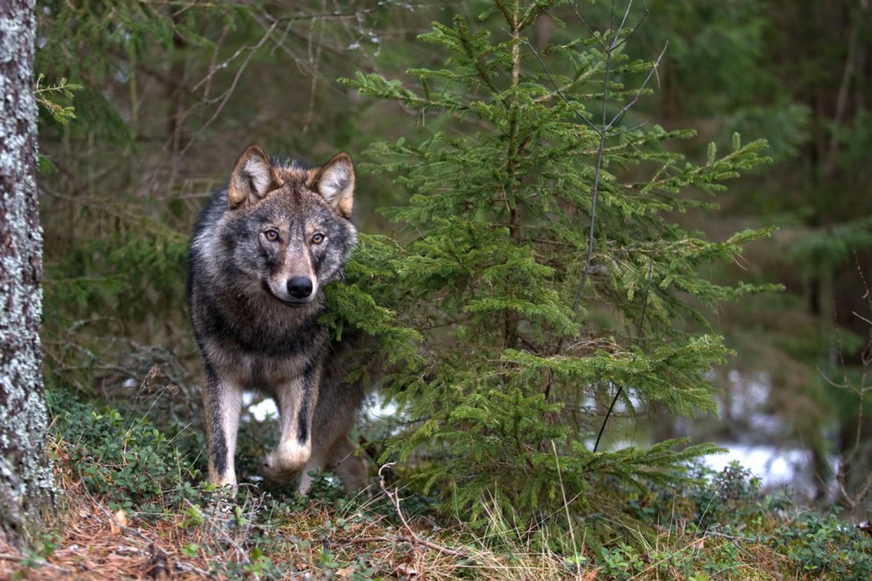 Minden, amit tudni szerettél volna a farkasokról