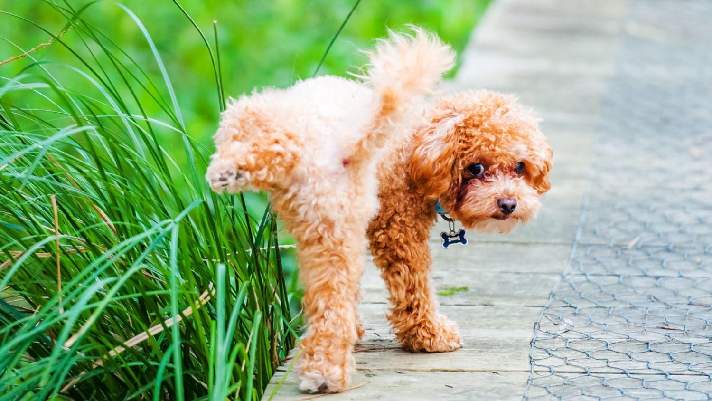 Miért ártalmas a gyepre a kutyapisi?