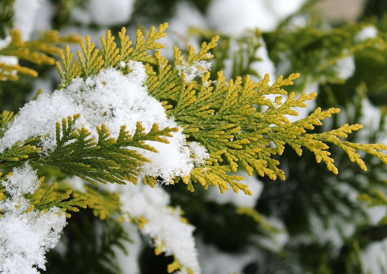 Örökzöldek téli felkészítése