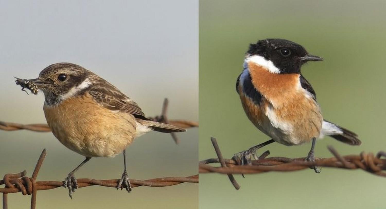Az év madara a cigánycsuk