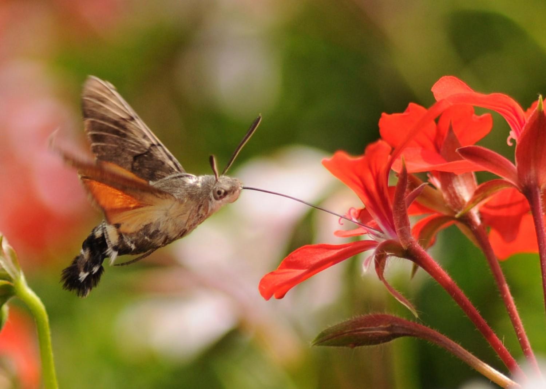 Az év rovara - amit könnyen madárnak nézhetünk