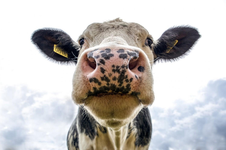 Drasztikusan csökkenthető a szarvasmarhák gázkibocsátása hínárral dúsított takarmánnyal
