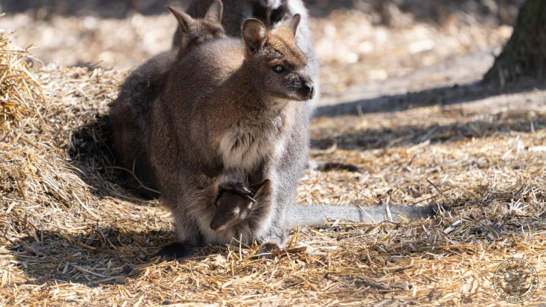 Bennett-kengurubébi nevelkedik a debreceni állatkertben