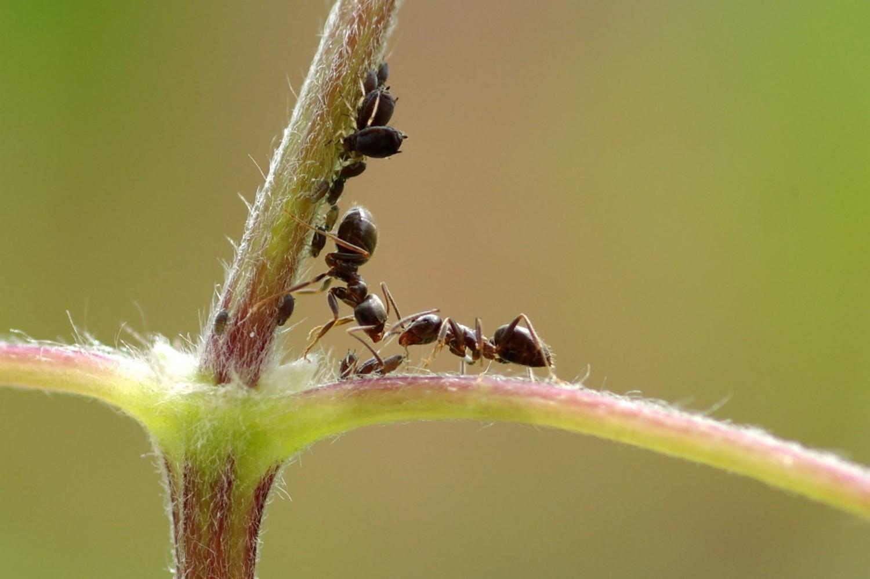 Jönnek a hangyák! 2000 éves módszer az elűzésükre!