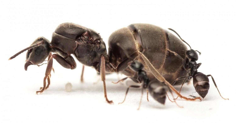 Egy indiai hangyafaj képes összezsugorítani, majd visszanöveszteni az agyát
