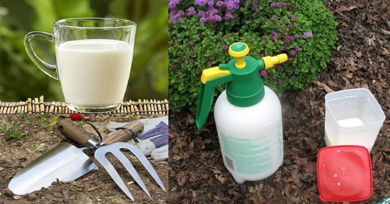 Használd a tejet a kertben! Öt tipp, mire jó.