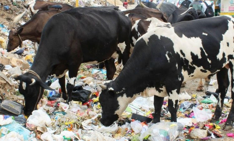 Ez lenne a megoldás? A szarvasmarhák gyomrában élő baktériumok képesek lebontani a műanyagokat