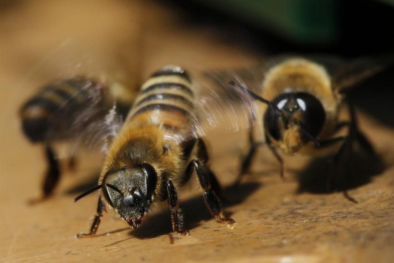 A dühös méhek jobb minőségű mérget termelnek