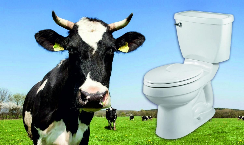 Vécére szoktatják a szarvasmarhákat