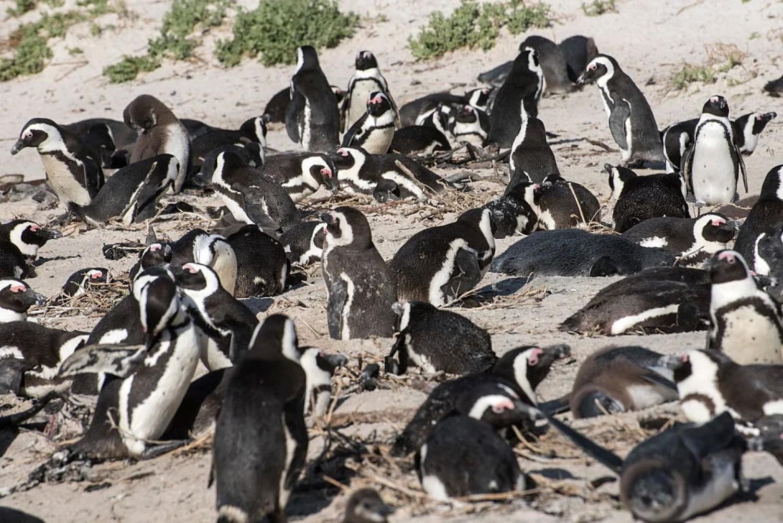 Méhek öltek meg 63 veszélyeztetett pingvint Dél-Afrikában