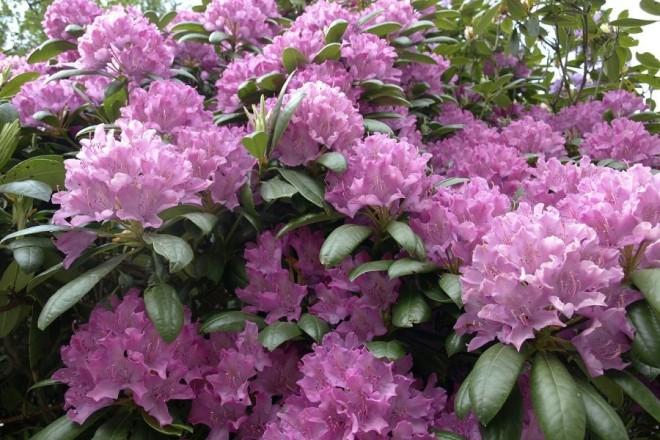 Így ápold a rododendronodat - Hogy májusra virágbajnok legyen!