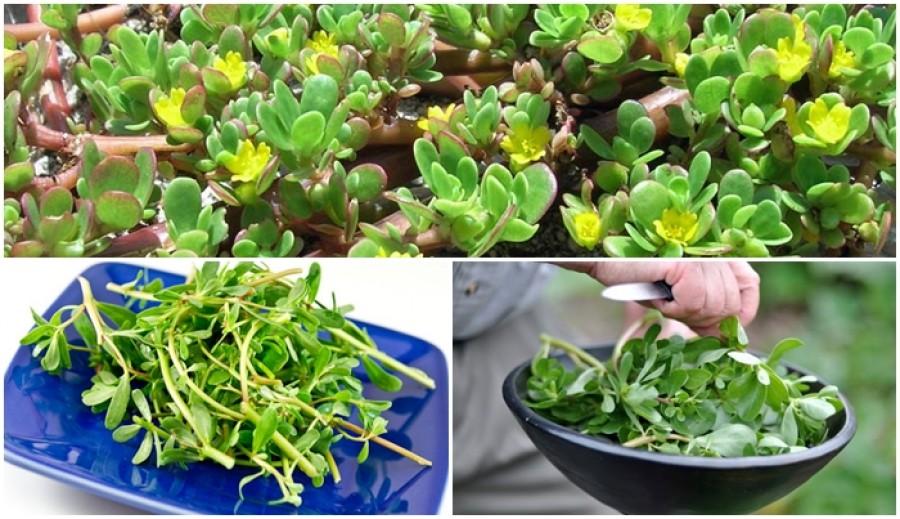 Ezt a növényt mindenki irtja, pedig inkább szaporítani kellene!